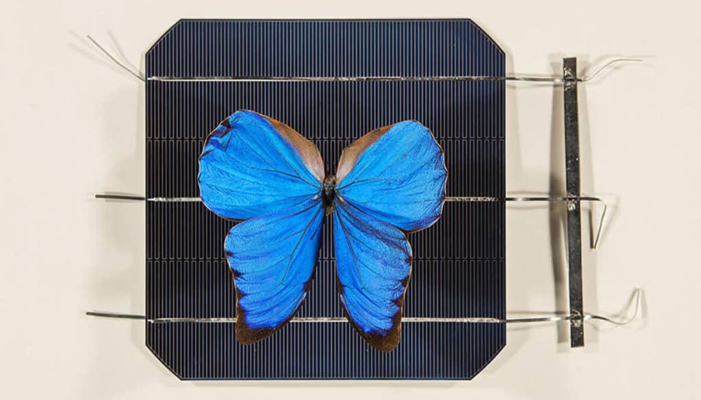 aripile fluturilor Blue Morpho Didius