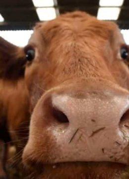 De ce au interzis carnea de vită în Universitatea Goldsmiths din Londra cover