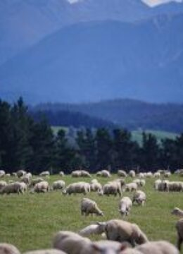 Sheep-in-new-zealand